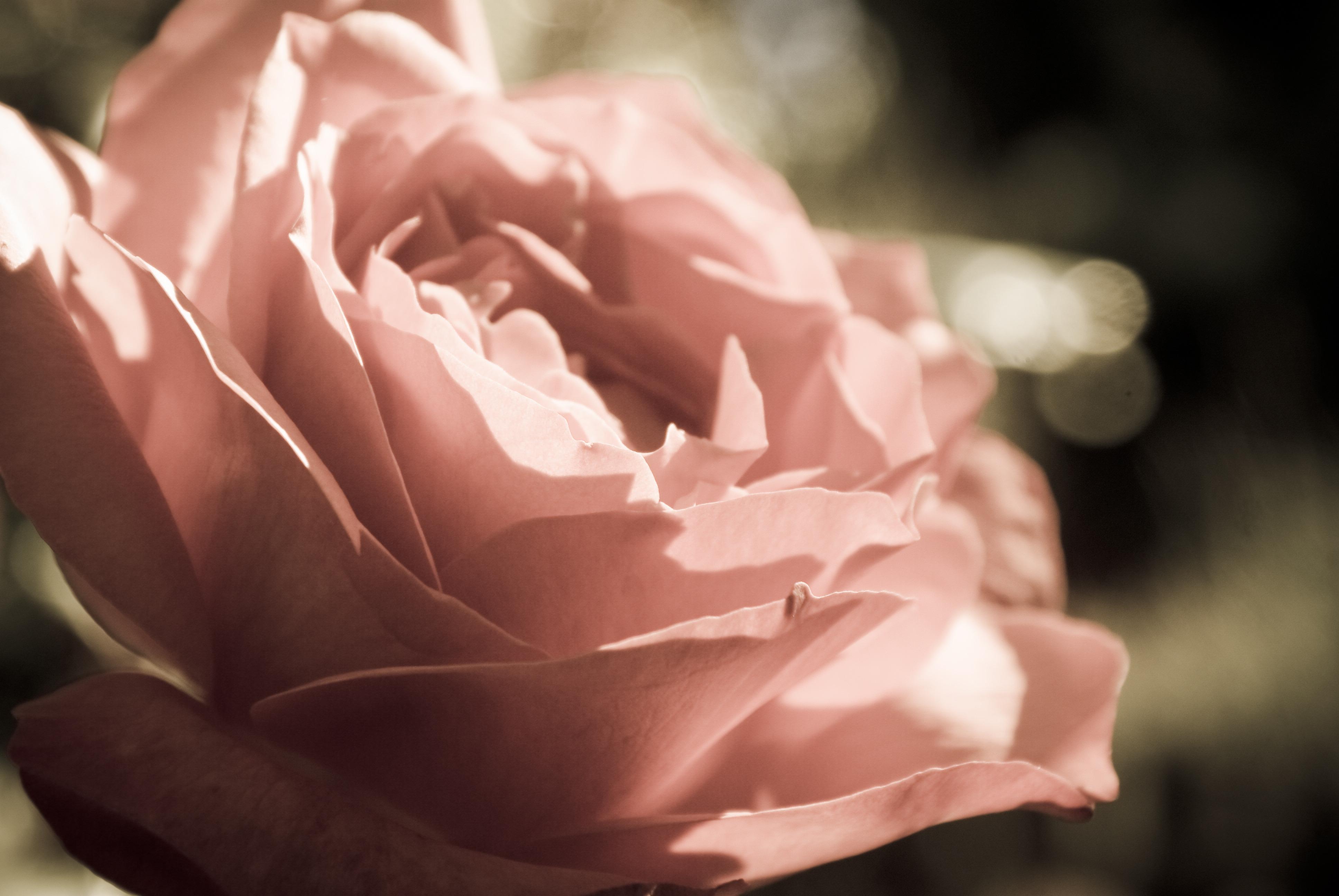 Плакат Нежная роза