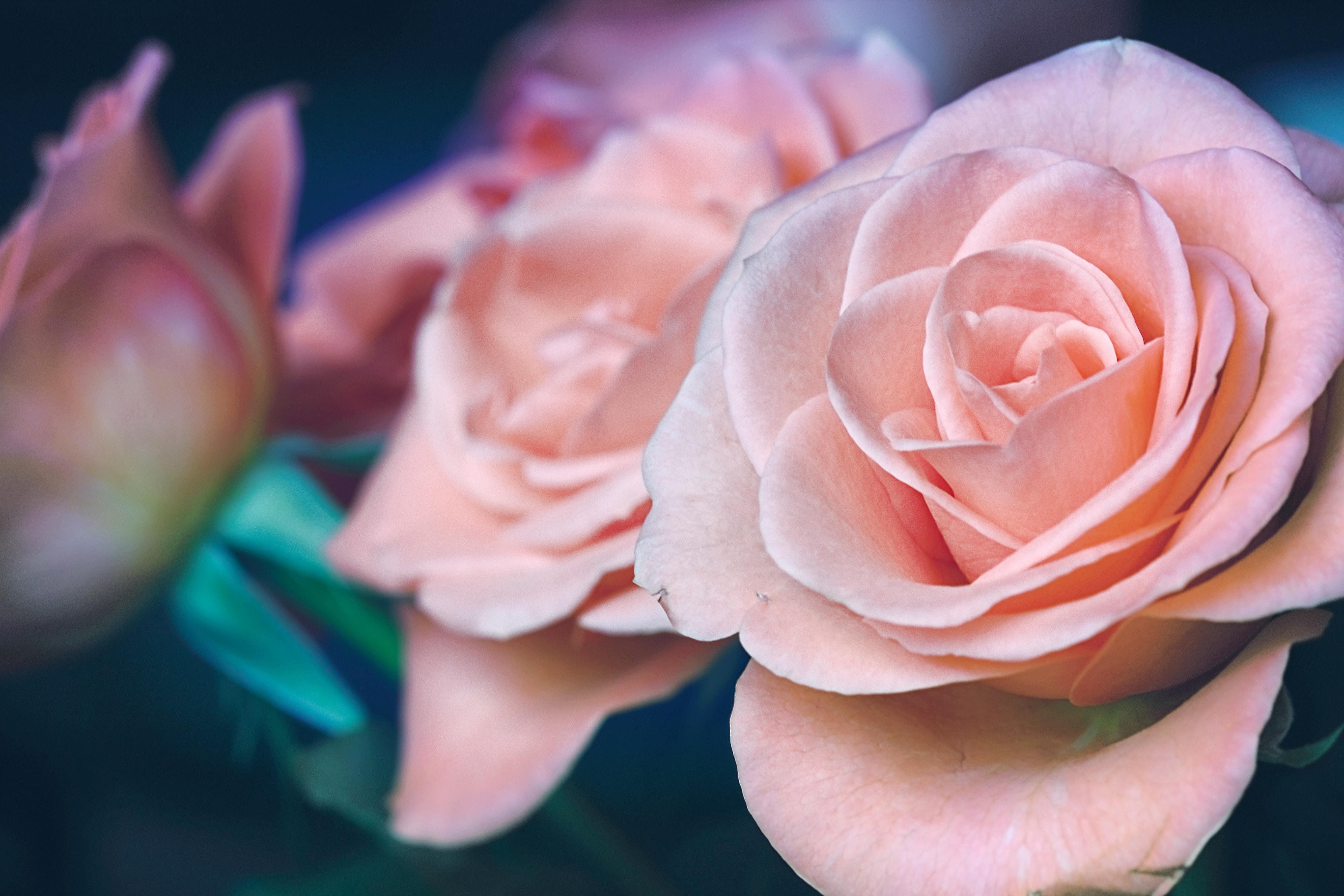 Плакат Пастельные розы