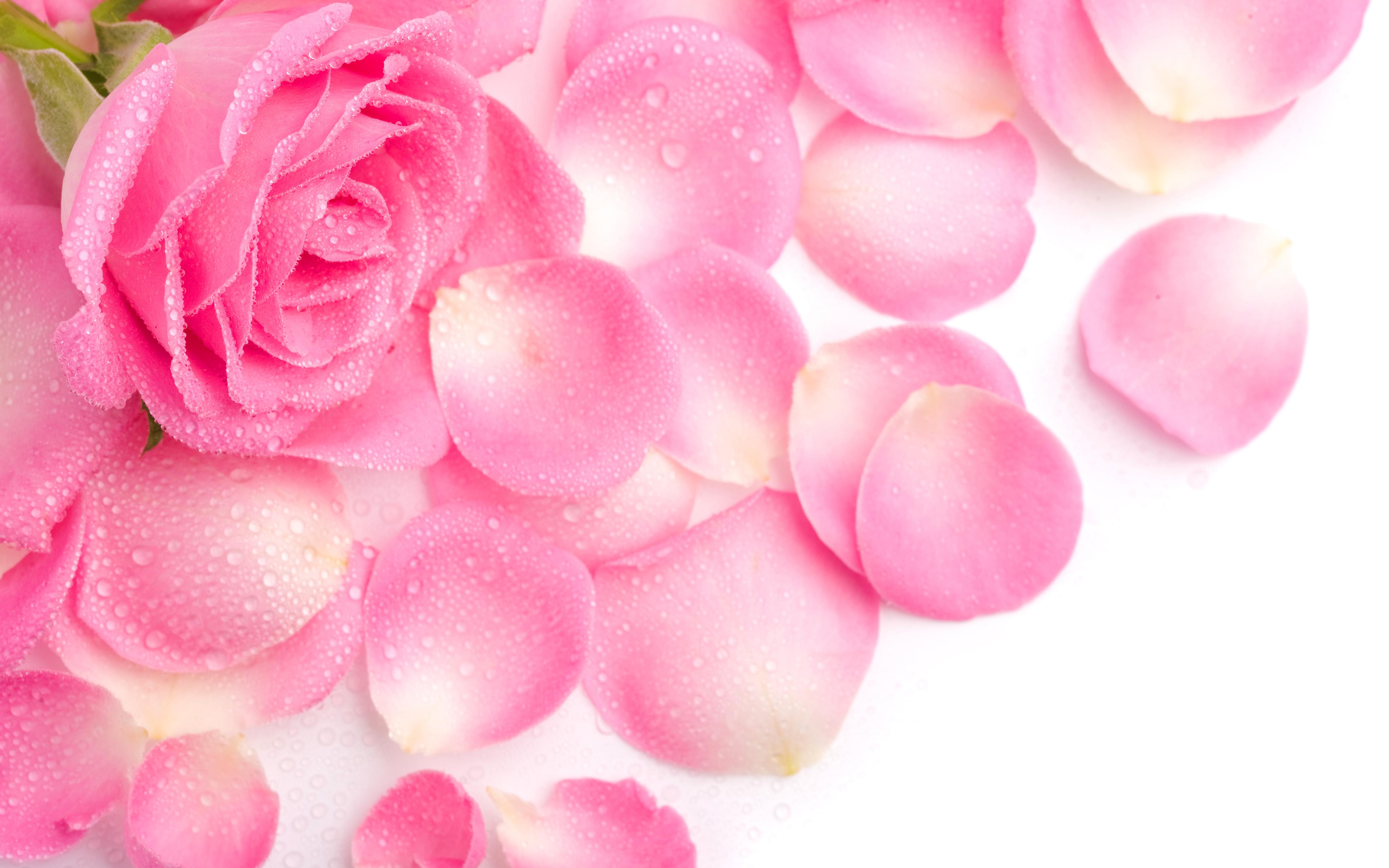 Плакат Роза и лепестки