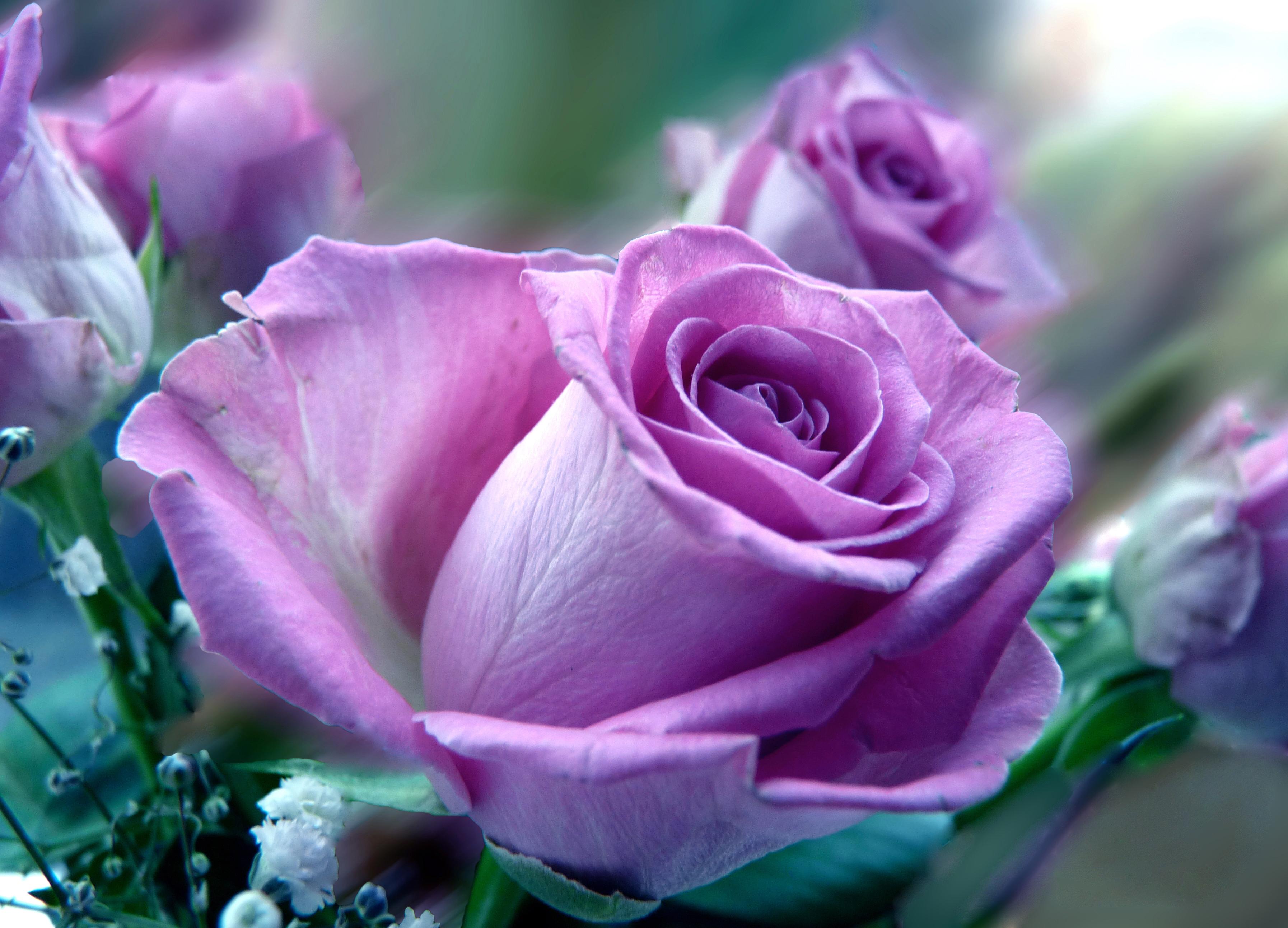 Плакат Сиреневая роза