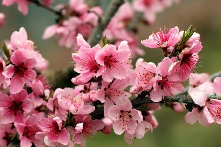 Плакат Розовые цветы яблони