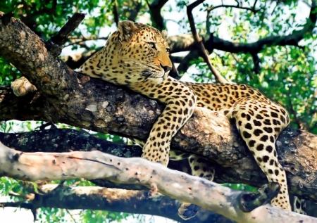 Постер на подрамнике Леопард на дереве