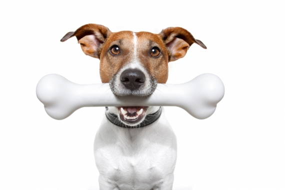 Постер на подрамнике Собака держит кость