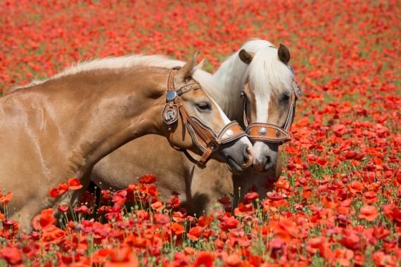 Постер (плакат) Пара лошадей в маковом поле