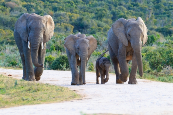 Постер на подрамнике Семья слонов