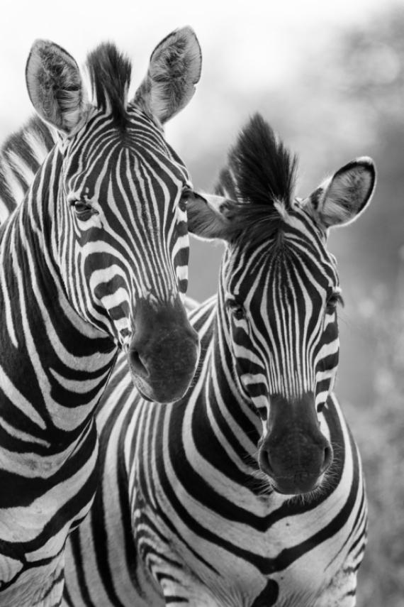 Постер на подрамнике Две зебры