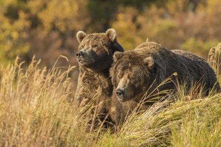 Постер (плакат) Медведи в поле