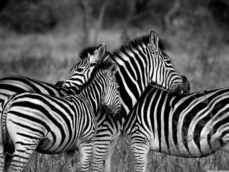 Постер (плакат) Четыре зебры|Черно-белое