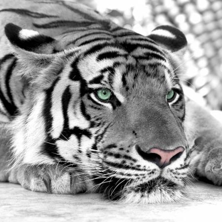 Постер (плакат) Зеленоглазый тигр
