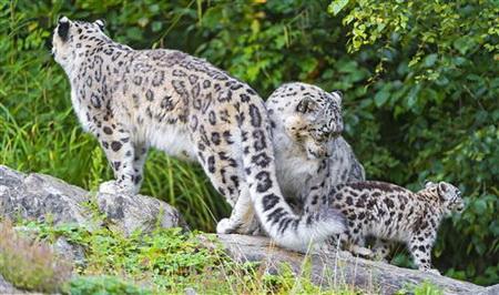 Постер на подрамнике leopard - Барс