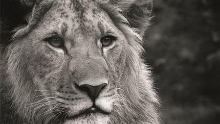 Постер (плакат) leon - лев