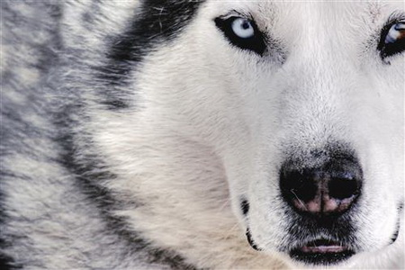 Постер (плакат) Wolf - Волк