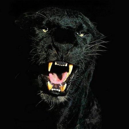 Постер на подрамнике Взгляд пантеры