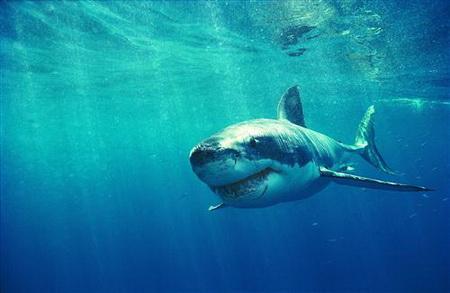 Постер (плакат) акула