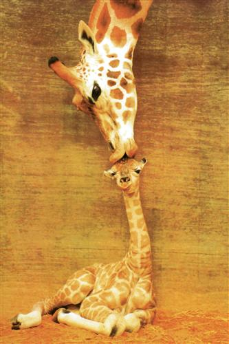 Постер (плакат) жирафы - жирафы