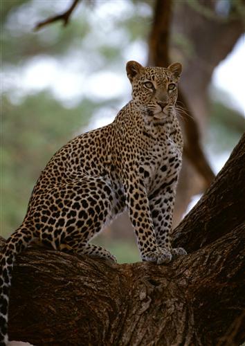 Постер (плакат) Леопард на дереве