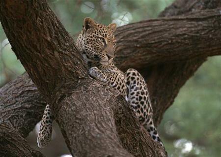 Постер (плакат) Леопард отдыхает