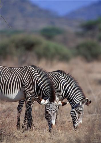 Постер (плакат) Две зебры