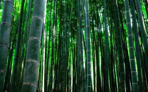 Плакат бамбук