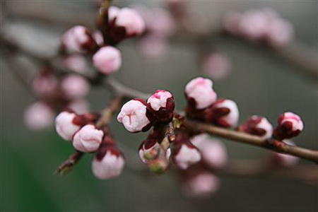 Постер на подрамнике Apricot blossoms - Абрикос в цвету