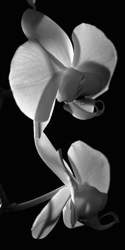 Плакат orchids - Орхидеи