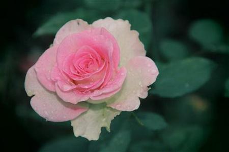 Плакат Roza - Роза