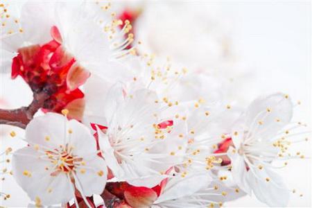 Постер на подрамнике Цветущая сакура