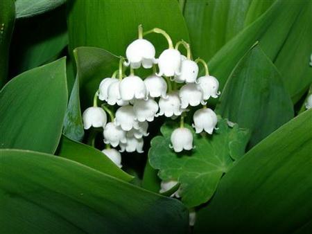 Постер на подрамнике lilies of the valley - Ландыши