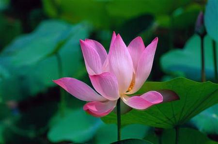 Постер на подрамнике lotus - Лотос