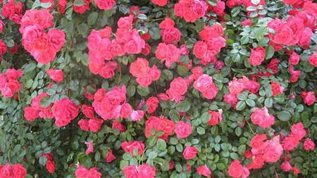 Плакат Розы на природе