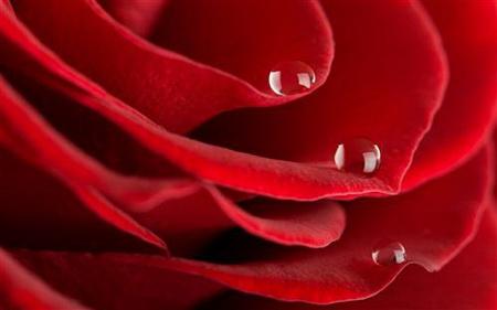 Постер на подрамнике Лепестки роз с каплями росы
