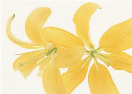 Постер на подрамнике Нежно-желтые лилии