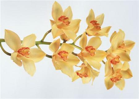 Постер на подрамнике Желтые орхидеи