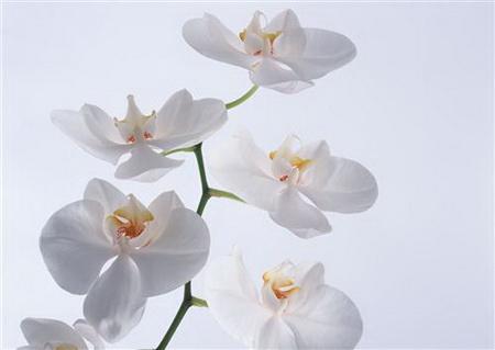 Постер на подрамнике Белые орхидеи