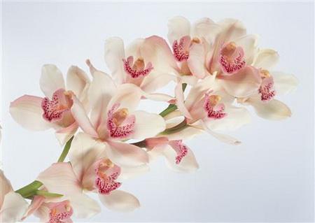 Постер на подрамнике Бело-розовые орхидеи