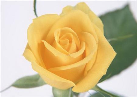 Плакат Желтая роза
