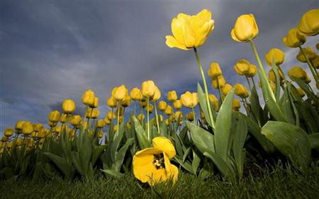 Плакат Желтые тюльпаны