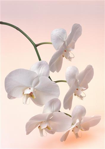 Постер на подрамнике Белая орхидея