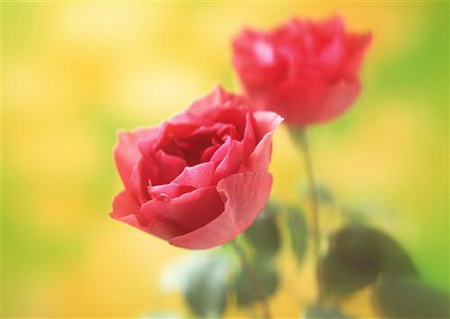 Плакат Две розы