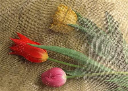 Плакат Тюльпаны под сеткой