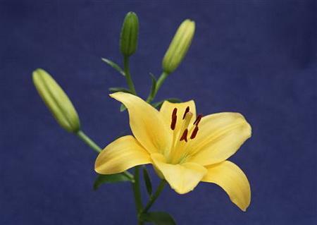 Постер на подрамнике Веточка желтых лилий