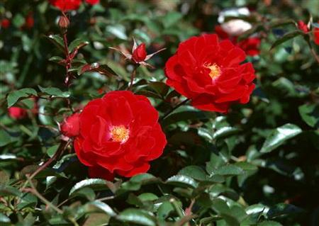 Постер на подрамнике Цветы шиповника