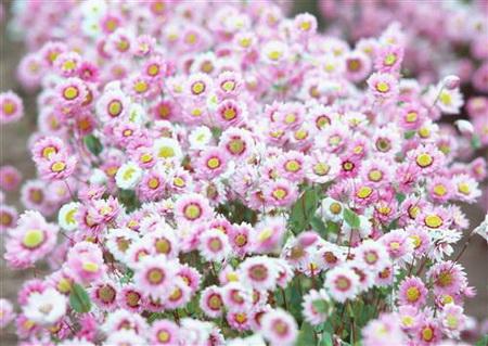 Плакат Бело-розовые хризантемы