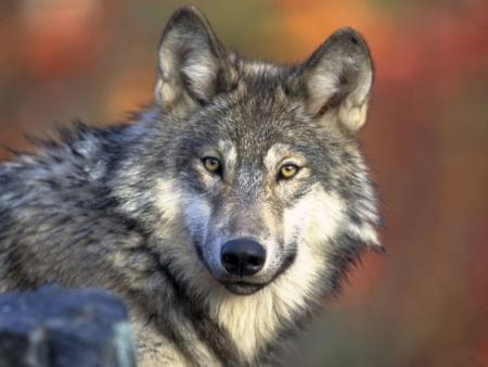 Постер (плакат) Волк