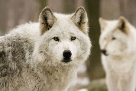 Плакат Волки