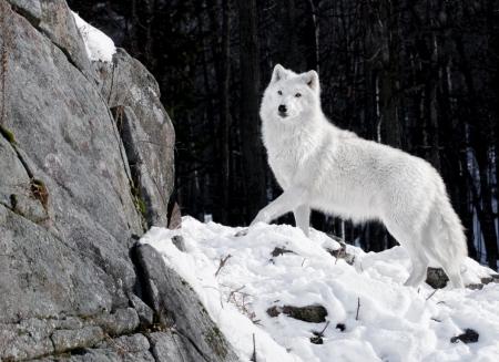 Постер (плакат) Белый волк