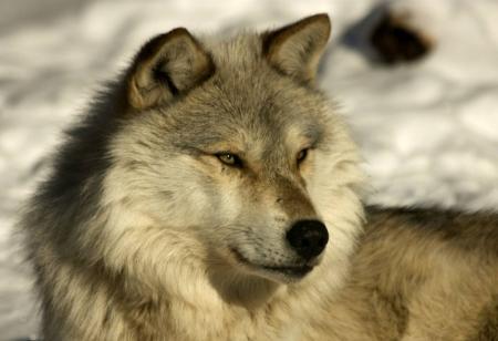 Постер на подрамнике Волк