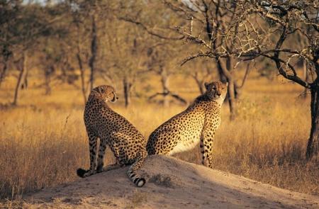 Постер (плакат) Гепарды