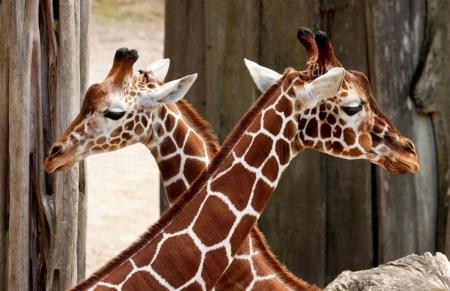 Постер на подрамнике Жирафы