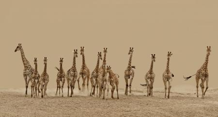Постер (плакат) Жирафы